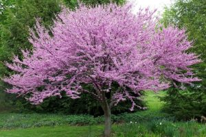 Eastern Redbud Full