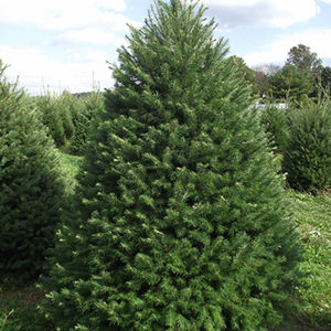 Douglas-Fir Full