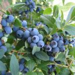 FB Bluecrop Blueberry