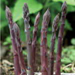 FB Purple Passion Asparagus