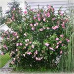 FS Rose of Sharon