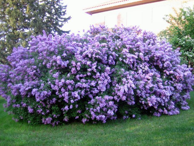 Large Lilac Bushes For Sale
