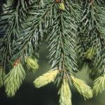 EV Norway Spruce Foliage