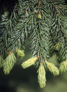 EV Norway Spruce Foliage