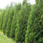 SH Arborvitae Hedge
