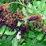 DT Elderberry Fruit