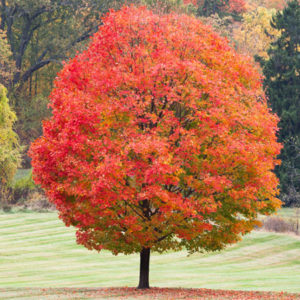 DT Sugar Maple Tree