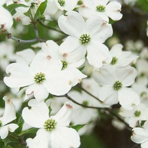 DT White Dogwood Flower