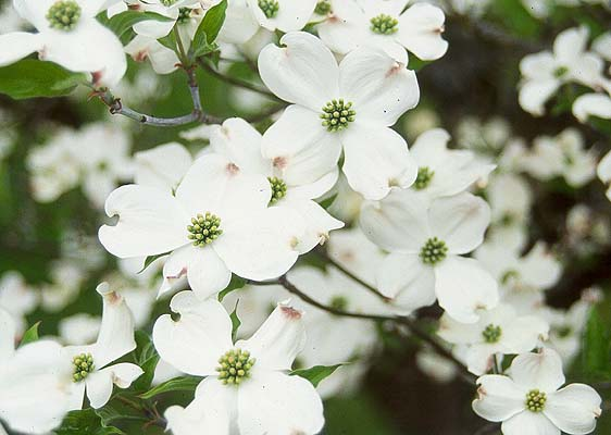 White flower dogwood worcester county conservation district white flower dogwood mightylinksfo
