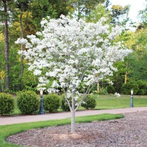 DT White Dogwood Tree