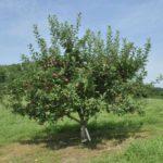 FB Northern Spy Apple Tree