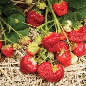 Fruiting Perennials