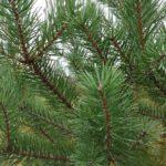 HR Scotch Pine Foliage