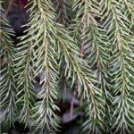 HR Siberian Spruce Foliage