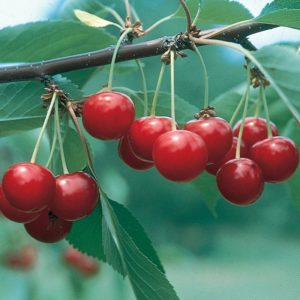 North Star Cherry