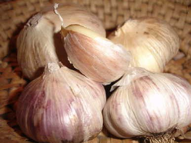 Open for ordering! Seed Garlic, Cover Crop Seed, and Fall Bulbs.